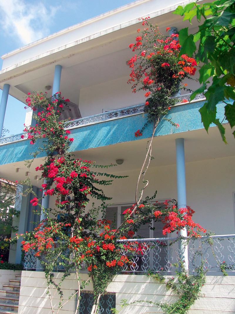 bougainvillea pe fatada unei case
