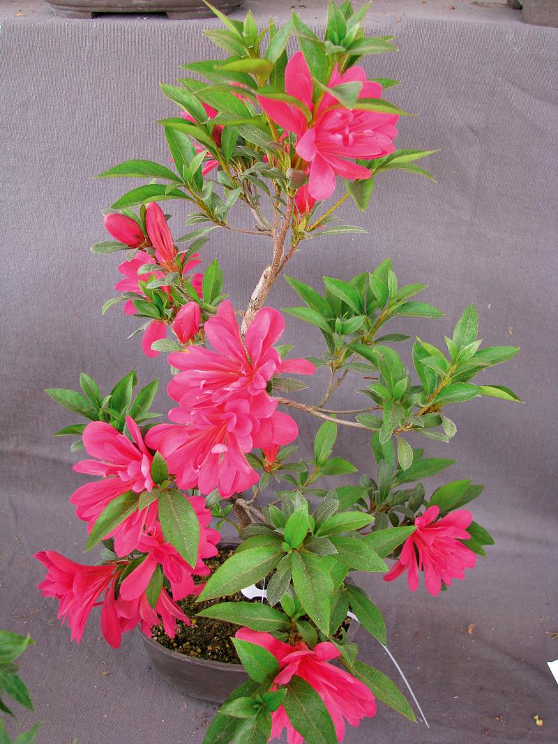 flori in ghivece azalee